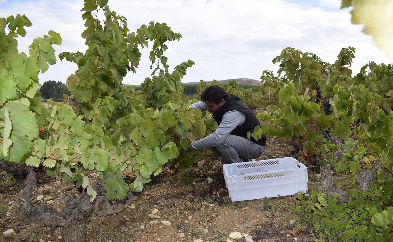 Cómo se vendimia los buenos vinos Ribera del Duero