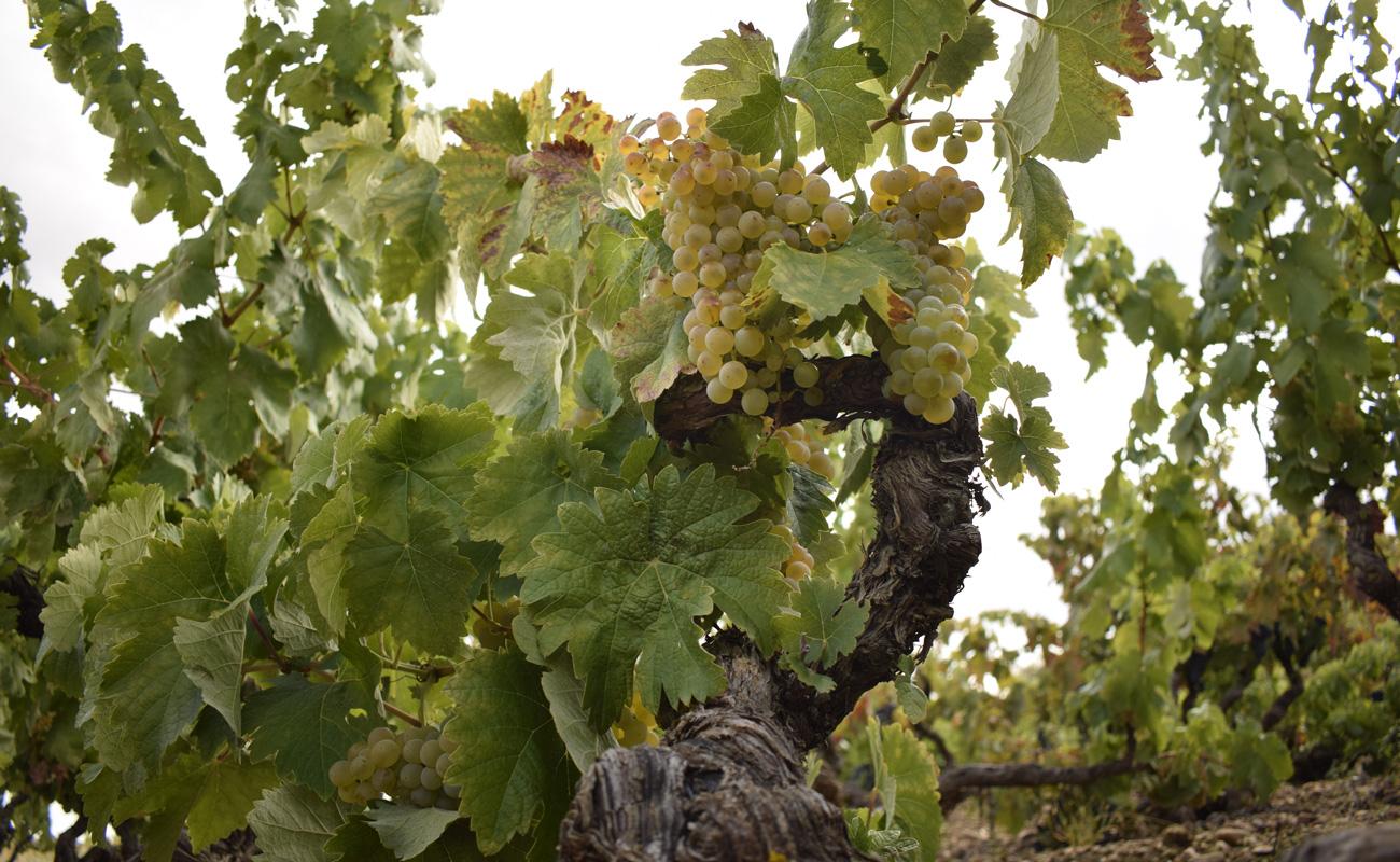 Vino blanco de Ribera del Duero