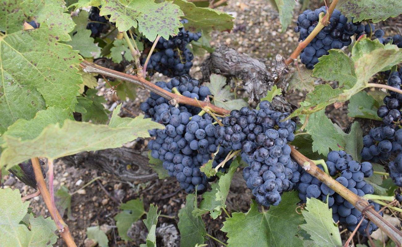 La variedad de uva Tempranillo